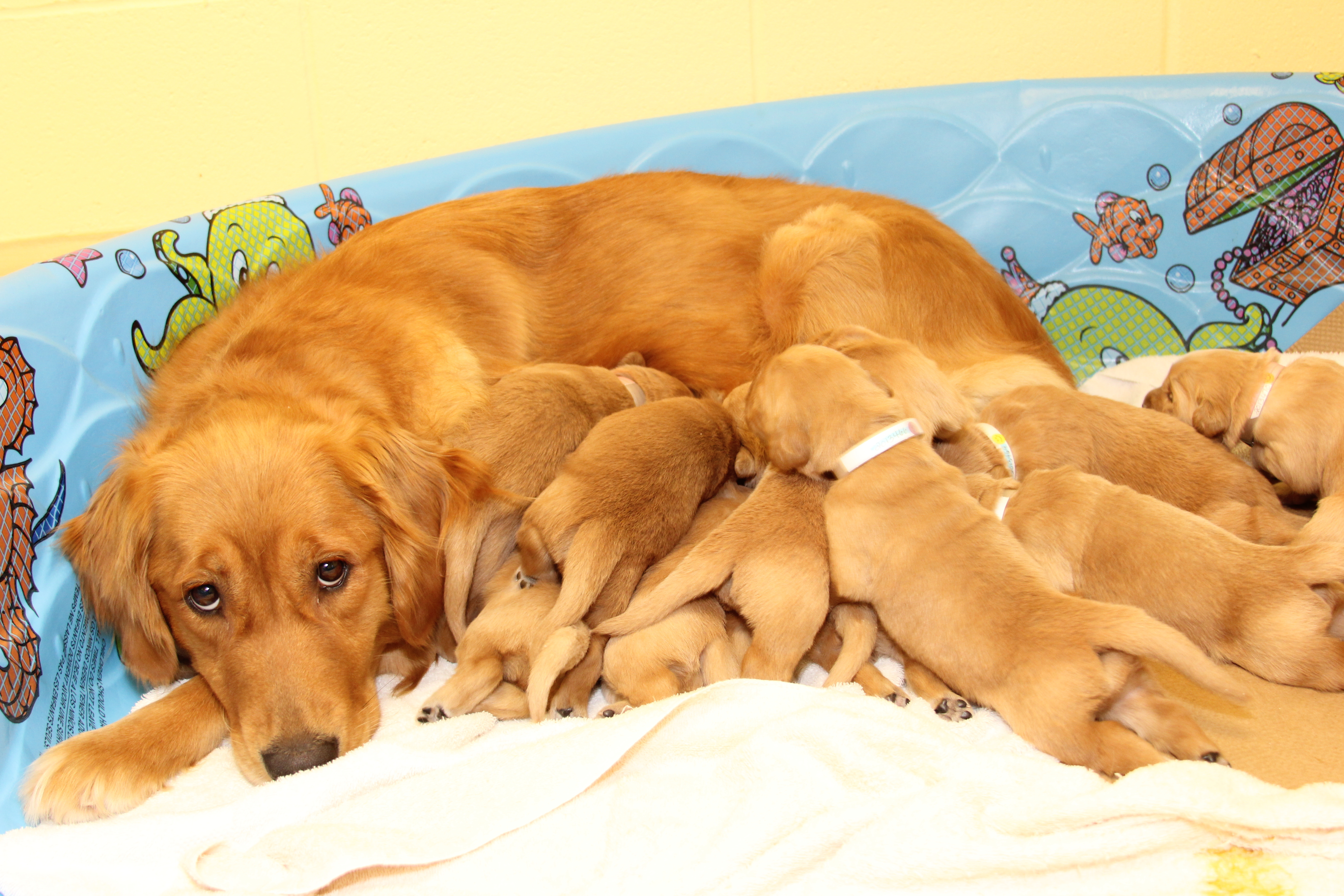Successful Guide Dogs Have Tough Love Moms Penn Study