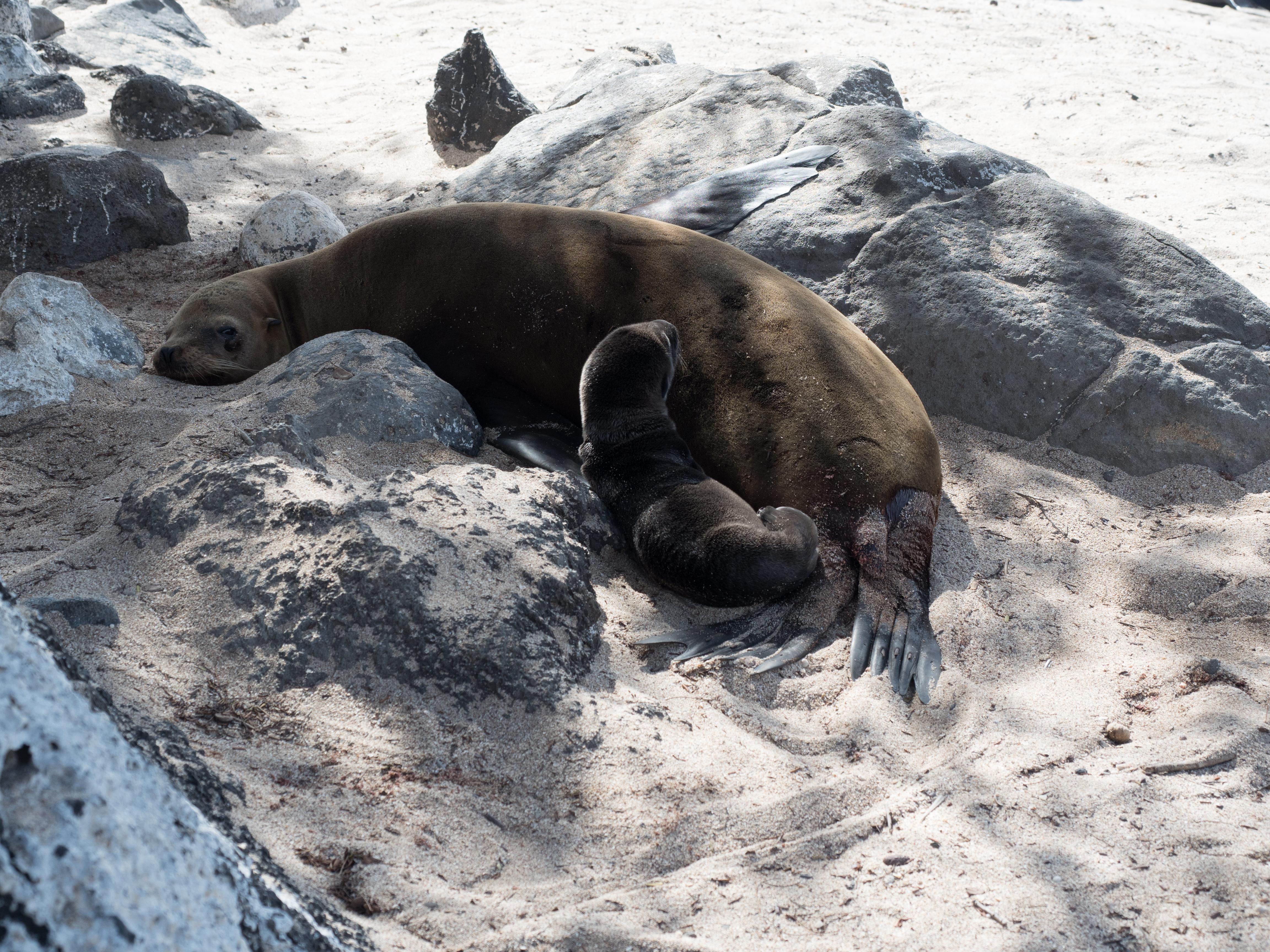 Galapagos Sea Lion Facts