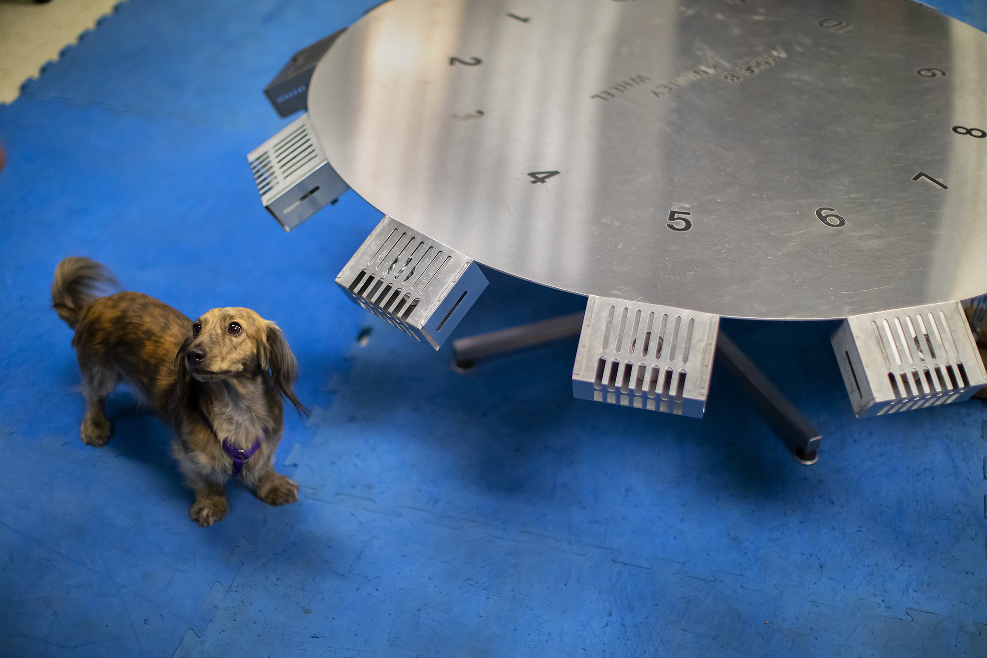Boltz, a dachsund, looks up from a metal scent wheel