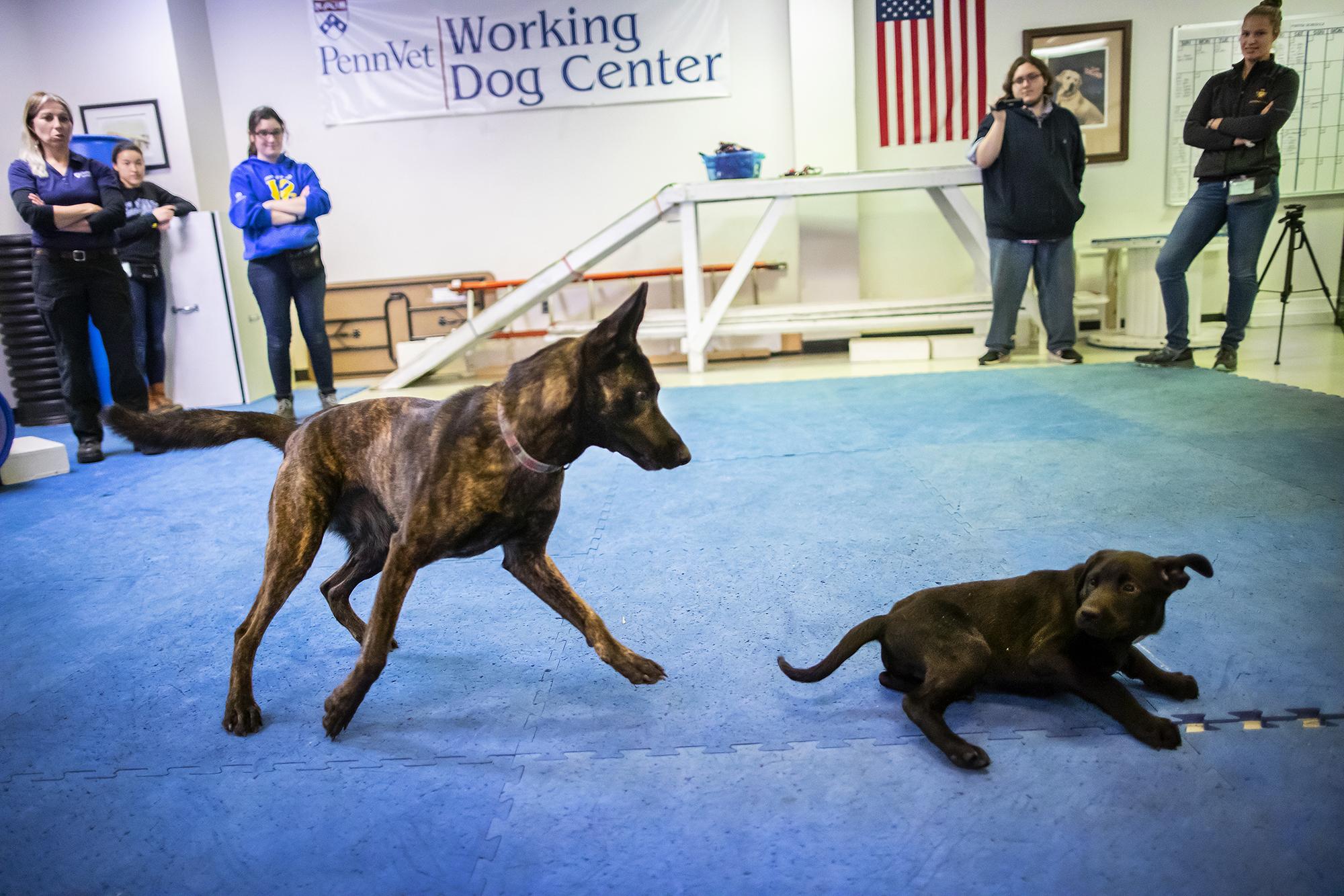 dressage de chiens de travail