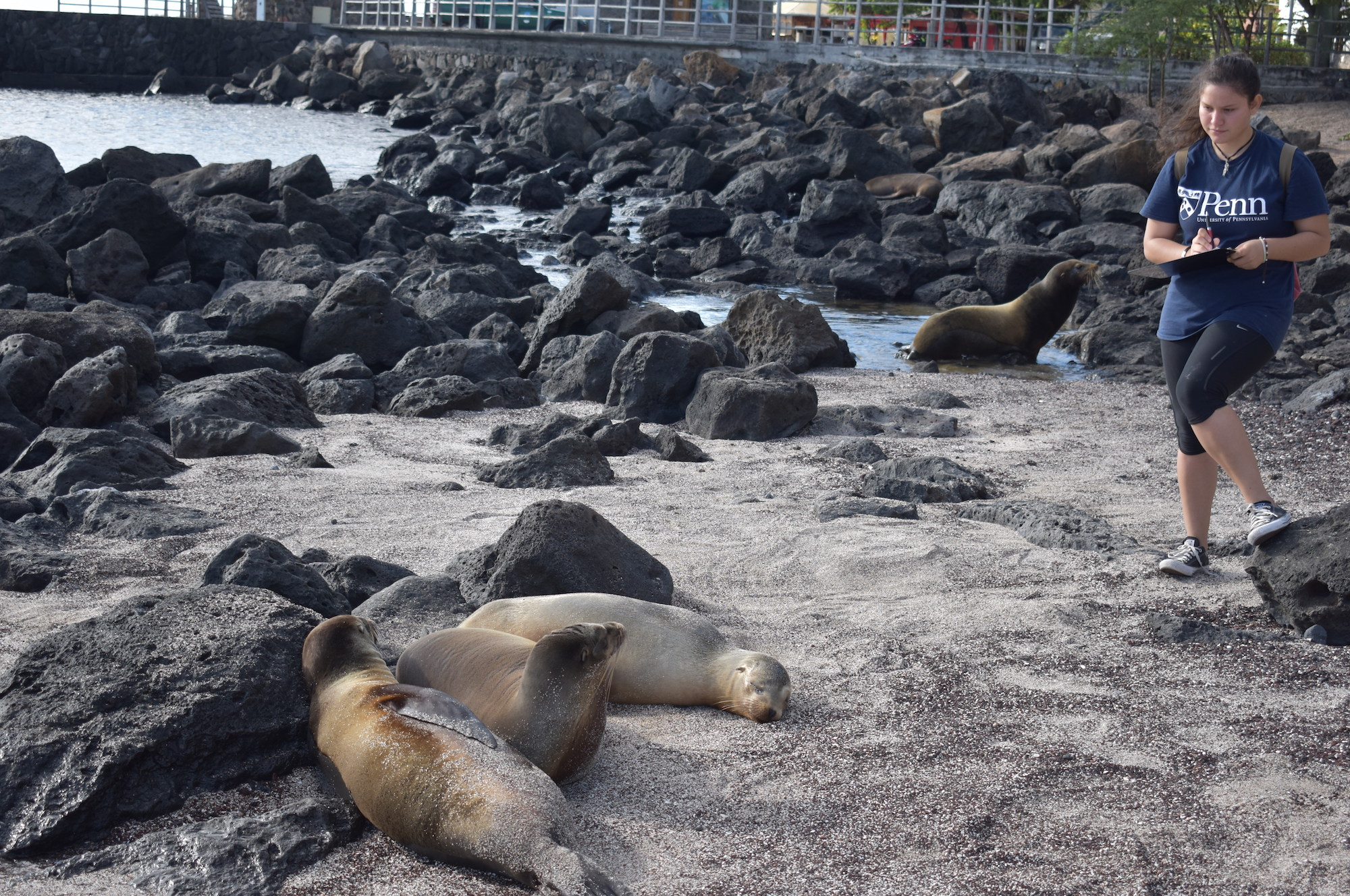 On Galápagos beaches, human presence conclusively affects sea lions