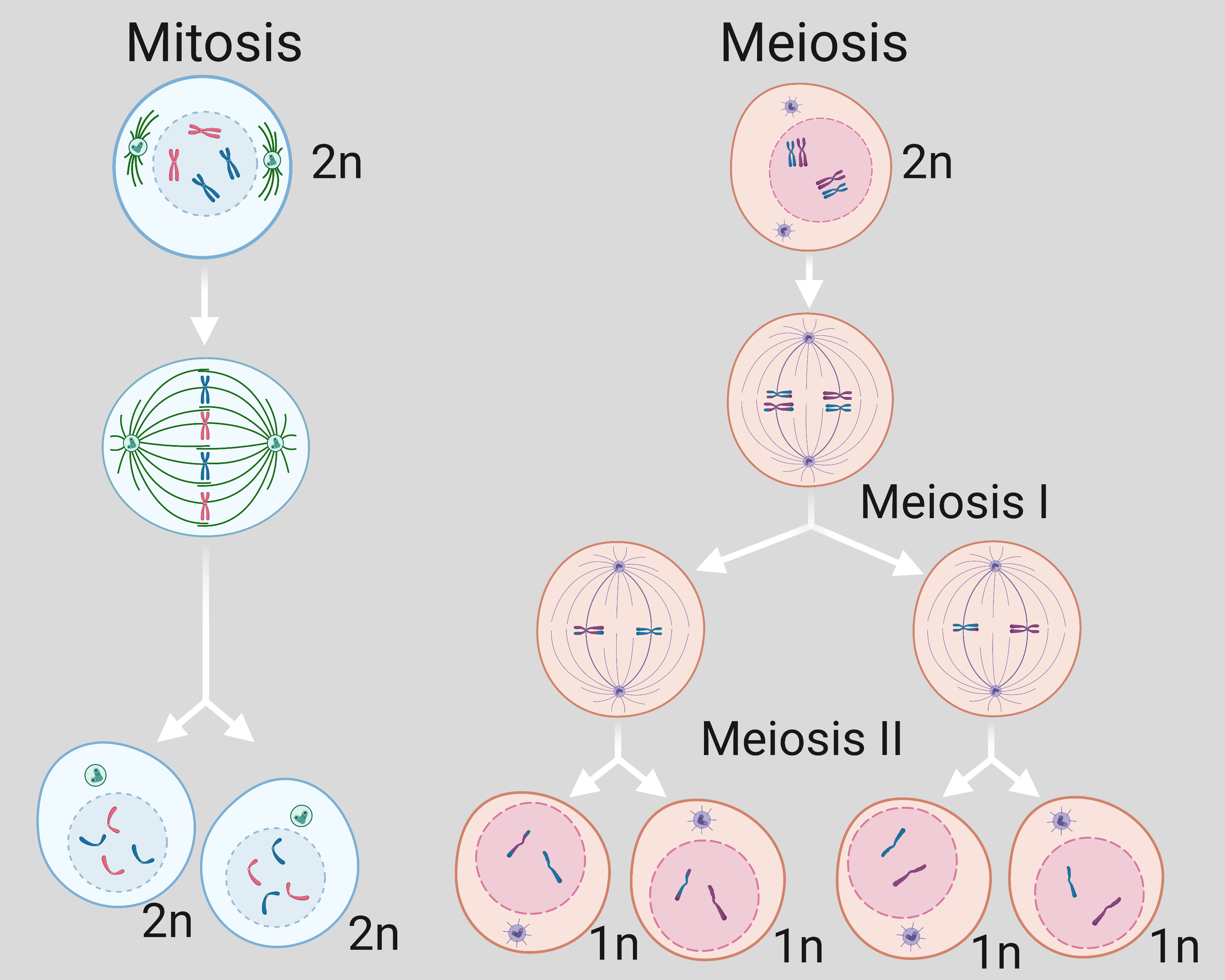 Diagram of the two cell division processes, mitosis and meiosis