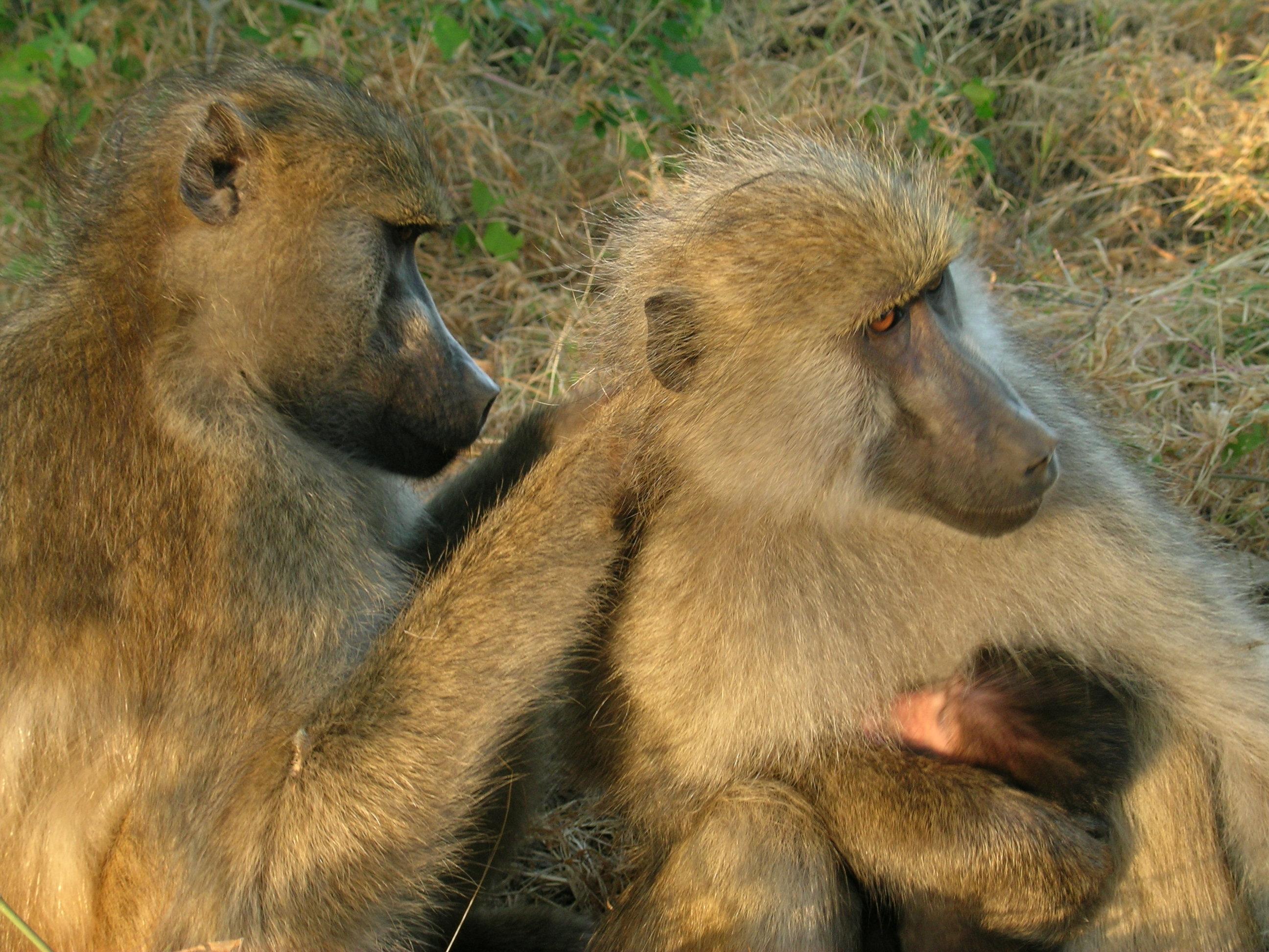Baboons grooming.