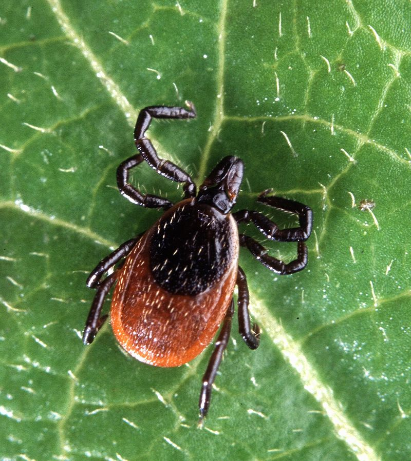 Blacklegged tick populations have expanded into new areas by migration, putting more at risk of contracting Lyme disease.