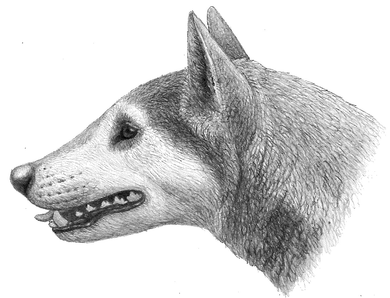 """Illustration of Cynarctus by Mauricio Antón from """"Dogs, Their Fossil Relatives and Evolutionary History."""""""