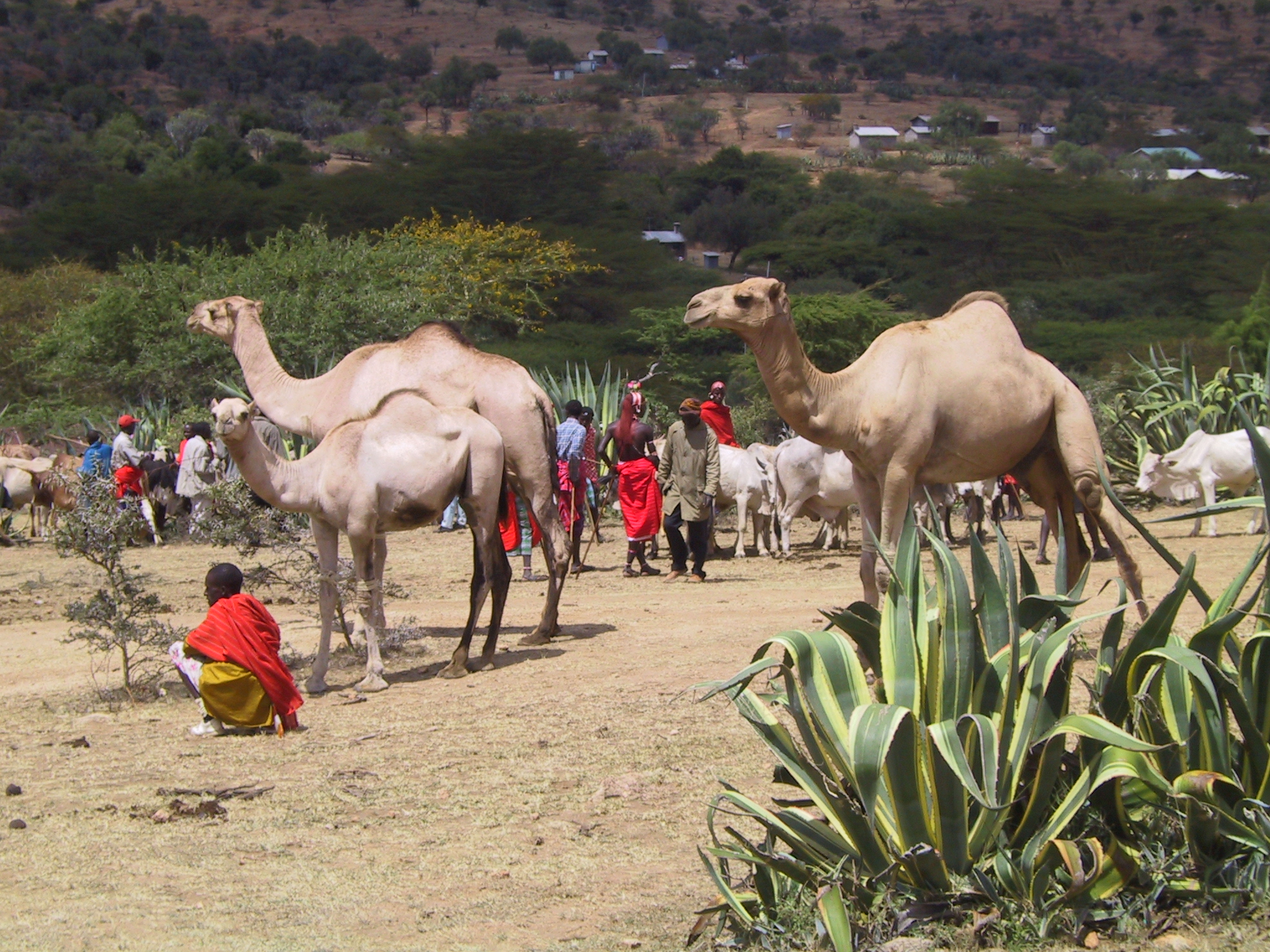 Camels roam a market in central Kenya. The animals were domesticated in the region about 5,000 years ago.