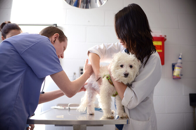 Dog getting a shot