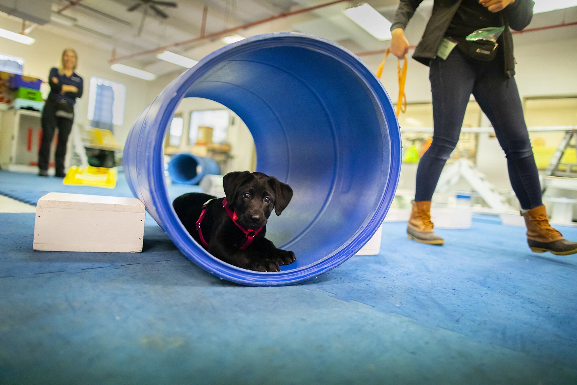 One of the U-litter puppies at the Working Dog Center sits in a tunnel