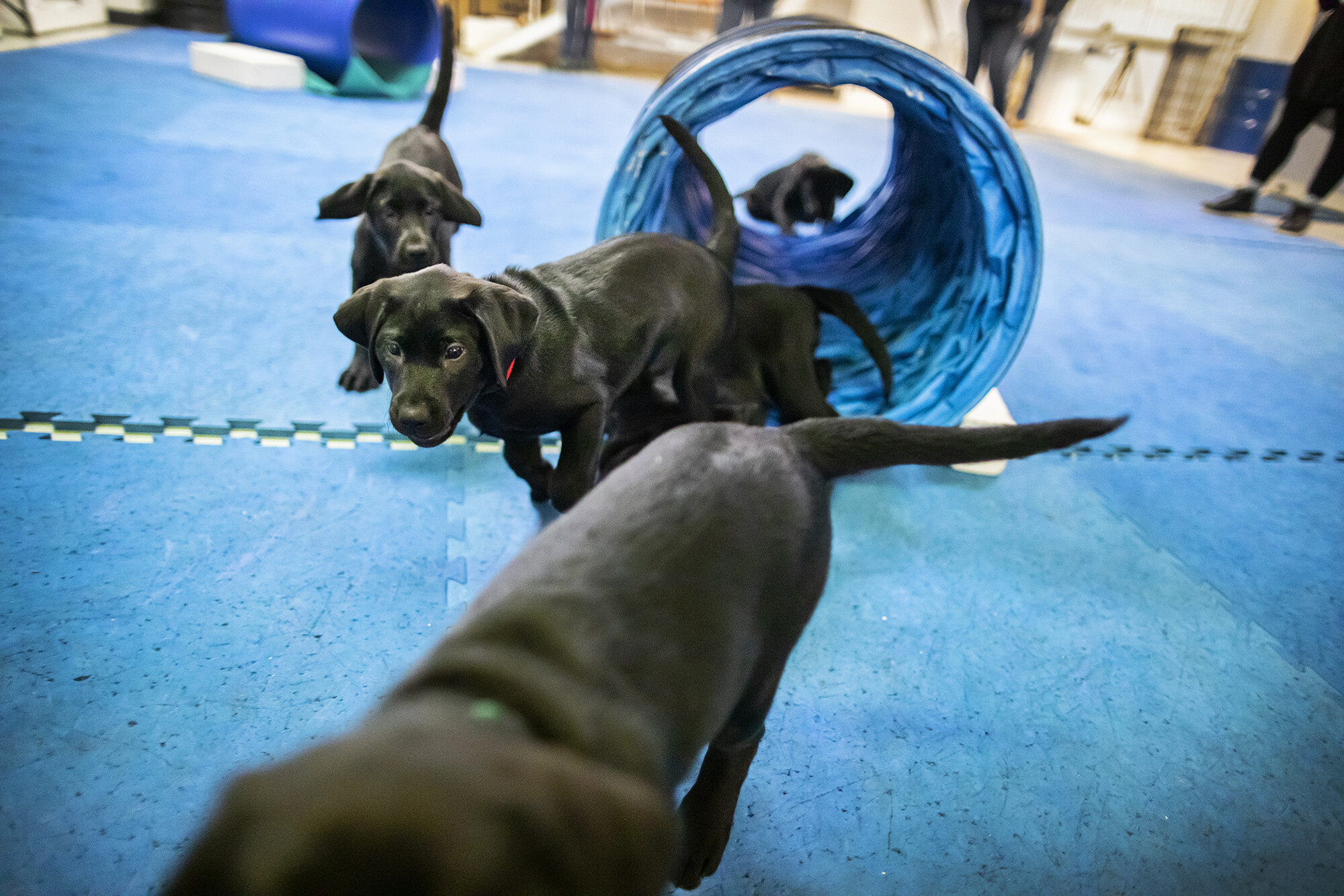 Four U-litter puppies running through a tunnel and on mats at the Working Dog Center
