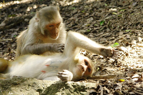 A pair of tannish colored monkeys. One is laying on the ground covered with leaves and rocks and sticks. The other is grooming the one laying down.