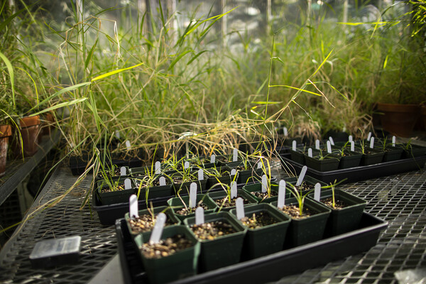 Pots on a table in a greenhouse filled with grasses in various stages of growth
