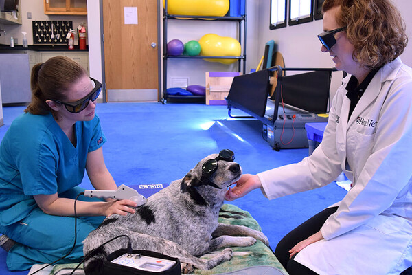 Ranger the dog wearing sunglsses seated while a doctor and nurse apply therapeutic laser therapy