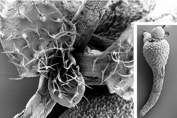 Scanning electron microscope image of plant parts. Main image is covered in spikes, smaller one looks smoother and less complex.