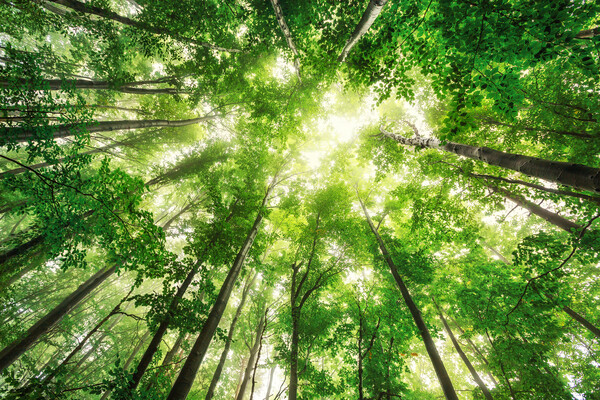 A view looking up into a forest of trees, with light streaming through.