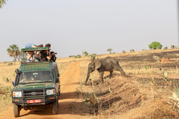 Safari truck with group looking at elephant