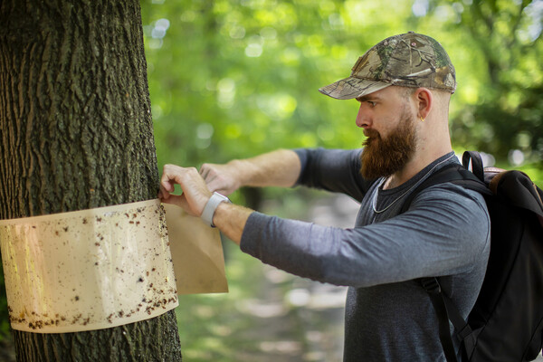 A person removes a sticky band covered with insects from around a tree