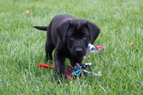 Puppy with toy standing in grass.