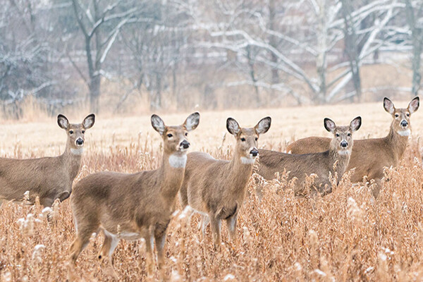 Six deer in a meadow