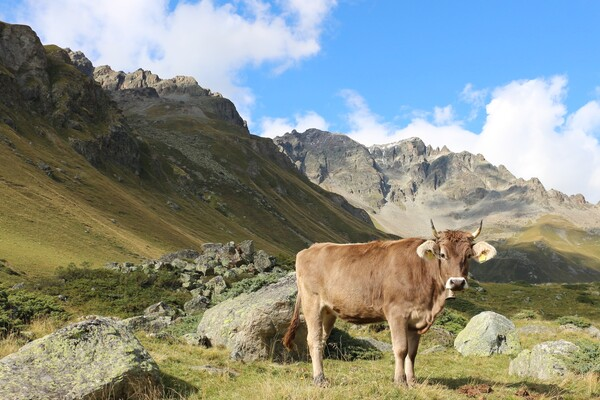 A brown cow standing in a mountain landscape in the Italian Alps.