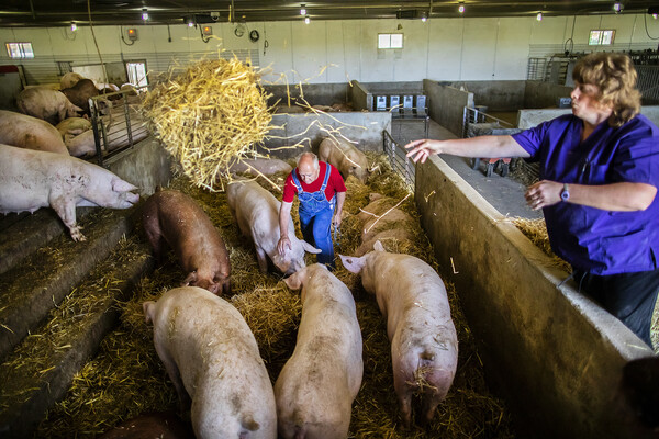 pigs in large stalls at new bolton center