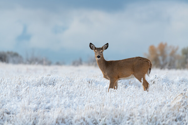 deer standing in snowy field