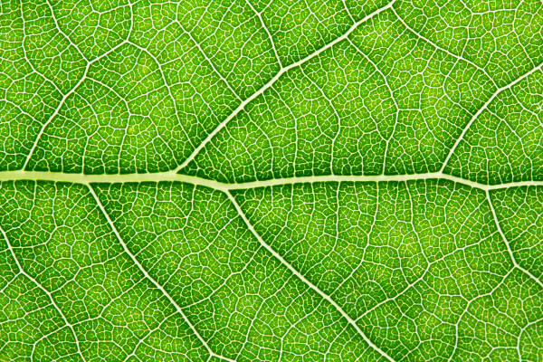 a close up image of a leaf with the main vessels and branches visible
