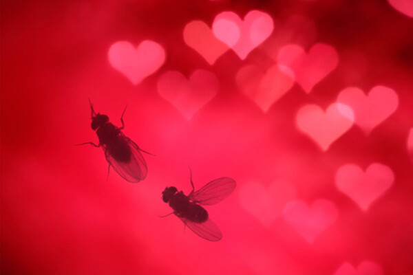 Two fruit flies on surface decorated with small hearts
