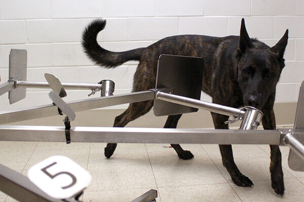 A dog at Penn's Working Dog Center sniffing at something metal for COVID-19 detection training