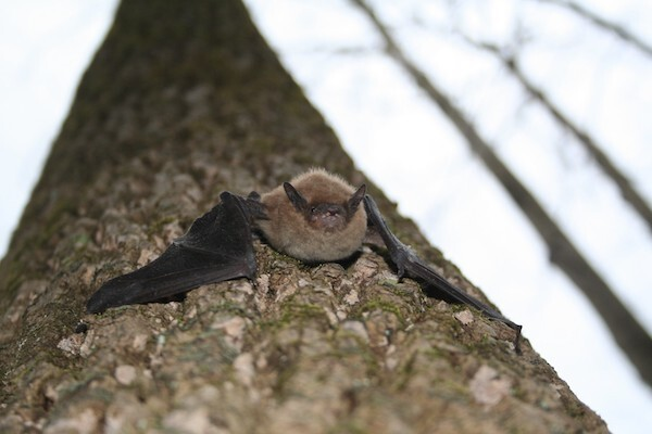 close-up image of bat on a tree trunk; three bare trees are in the right background