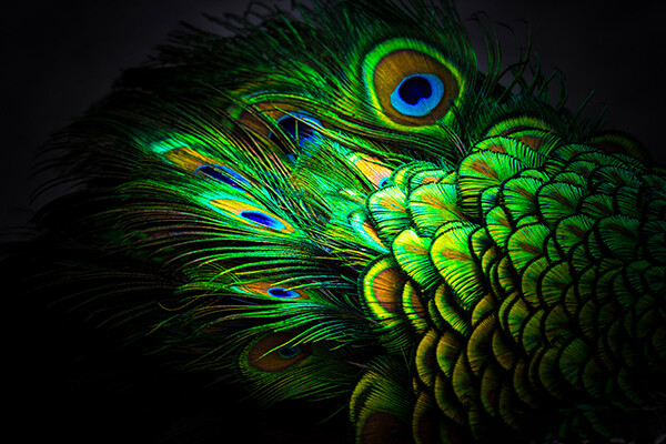 Peacock feathers under bright light