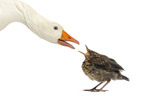A swan and small bird face each other with open beaks