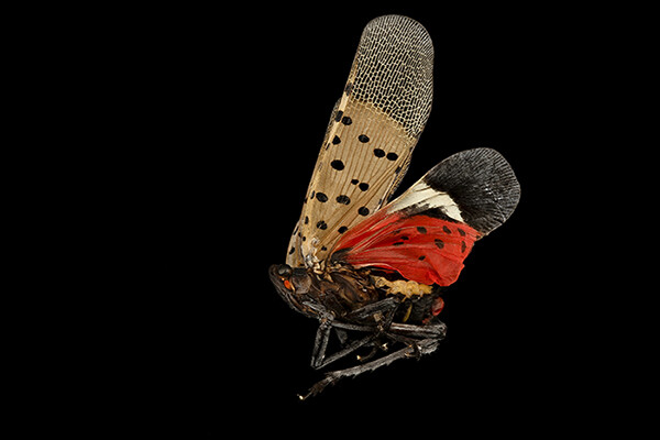 A spotted lanternfly in mid-flight