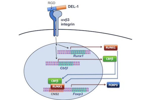 Scientific diagram shows how protein called DEL-1 leads to a T cell expressing FOXP3