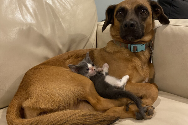 A dog sitting on a couch, with a kitten nuzzled in its lap.