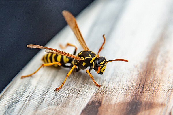 Closeup view of a wasp