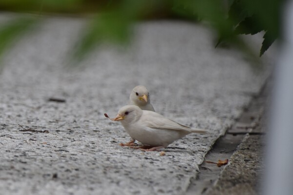 Two all-white birds on gray pavement, with blurred leaves in the foreground.