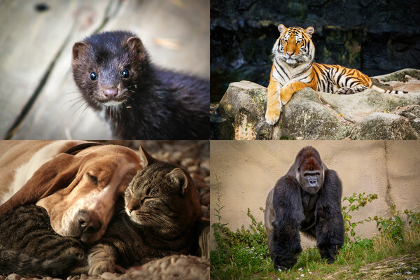 four panels with photos of a mink, a tiger, a dog and cat, and a gorilla