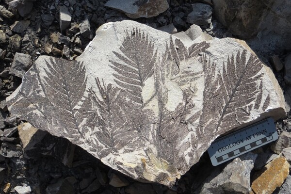 Fossil plants with a ruler that says Geology at Penn