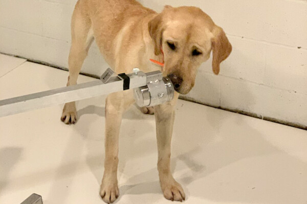 A yellow Labrador retriever puts its nose up to a metal port