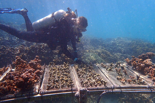 Scuba diver looks at coral growing on mats underwater