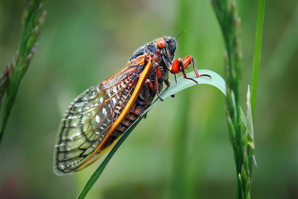 cicada on a leaf